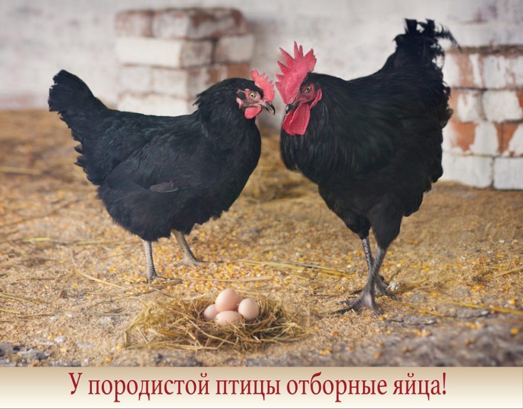 Московская чёрная