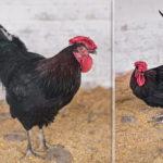 курицы черные2